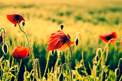 Germany, Bavaria, Poppies, Papaver rhoeas, in the morning light - p300m950309f by Christina Falkenberg