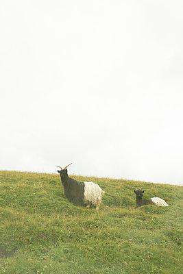 Goats  - p579m2014870 by Yabo