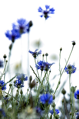 Cornflowers - p879m2133674 by nico