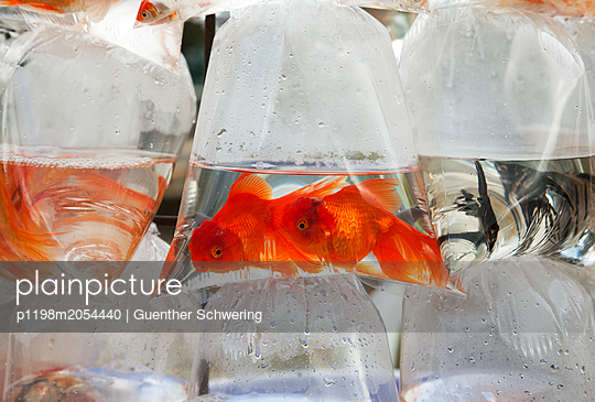 Goldfische im Plastikbeutel - p1198m2054440 von Guenther Schwering