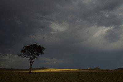 Storm clouds and silhouetted Acacia nilotica tree, Mara Triangle, Maasai Mara National Reserve, Narok, Kenya, Africa - p429m926244 by Lou Coetzer