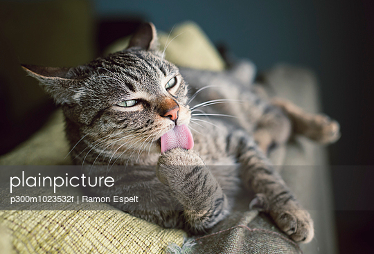 Tabby cat resting on a couch licking paw
