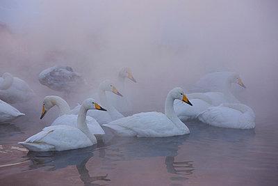 Whooper swans, Hokkaido, Japan - p1100m875533 by Art Wolfe
