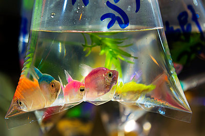 China, Hong Kong, Kowloon, fish in a plastic bag in the fish market - p300m1019305f by Gemma Ferrando