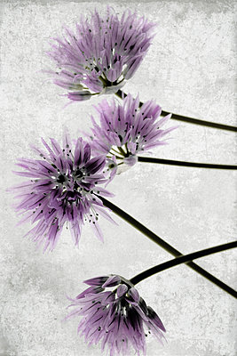 Blossoms of chive - p450m1138770 by Hanka Steidle