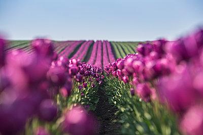 Germany, purple tulip fields - p300m1023305f by Anke Scheibe