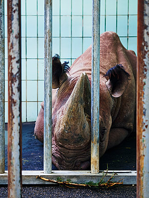 Nashorn hinter Gittern - p358m1541169 von Frank Muckenheim