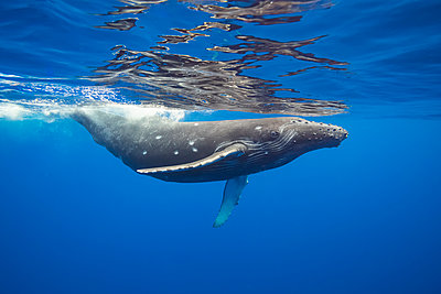 This Humpback whale (Megaptera novaeangliae) has a number of circular bite marks that may be attributed to a cookie cutter shark; Hawaii, United States of America - p442m2074137 by Dave Fleetham