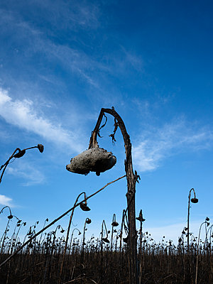 Withered sunflowers - p1327m2135177 by elenahelfrecht