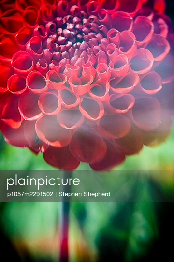 Close up artistic soft focus photograph of a large red dahlia - p1057m2291502 by Stephen Shepherd