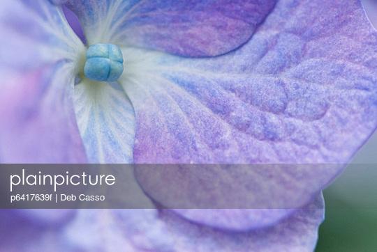 Close up of purple hydrangea