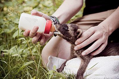 Waschbärbaby wird gefüttert - p1195m1195439 von Kathrin Brunnhofer