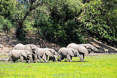 Elefanten im Südluangwa-Nationalpark - p842m1538209 von Renée Del Missier