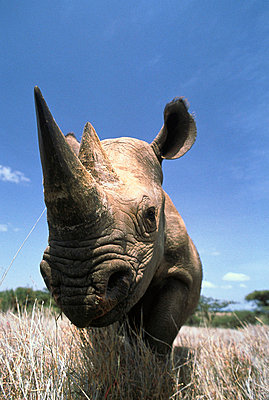 Black Rhinoceros portrait - p8842515 by Gerry Ellis photography