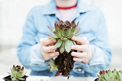 Woman's hands transplanting succulent into new pot. - p1166m2106664 by Cavan Images