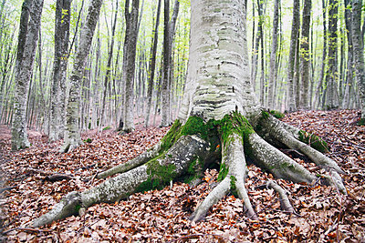 Roots of a tree in a forest - p312m1121498f by Hakan Hjort