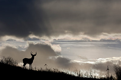 White-tailed Deer  buck, central Montana - p884m1143107 by Donald M. Jones