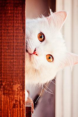 Beautiul Curious White Cat Peeking - p1166m2236203 by Cavan Images