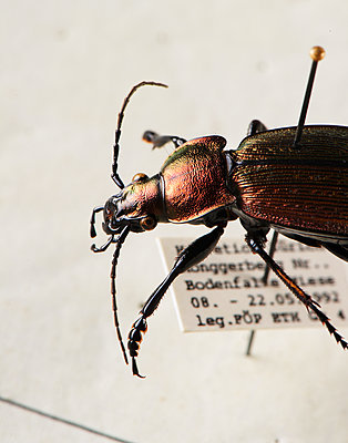 Aufgespießter Käfer, Nahaufnahme - p1629m2211346 von martinameier