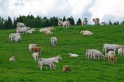 Weiße Kühe mit ihren Kälbern auf einer grünen Weide - p235m2063078 von KuS