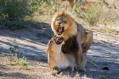 Africa, Namibia, Lion and lioness (Panthera leo) mating, close-up - p3004695f by Fotofeeling