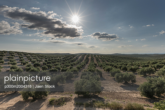 Spain, plantation of olive trees in spring against the sun - p300m2004318 von Jaen Stock