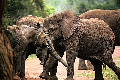 Uganda, Kigezi National Park, Young elephants playing together - p300m2005434 von realitybites