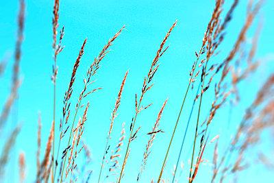 Grasses - p450m916515 by Hanka Steidle
