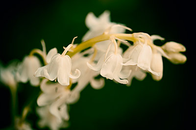 Close-up of a white Spanish Bluebell - p1047m1137551 by Sally Mundy