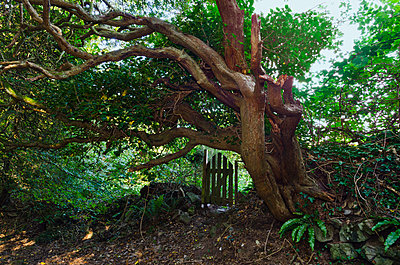 Gnarled Tree and Small Wooden Gate in Countryside - p1562m2245076 by chinch gryniewicz