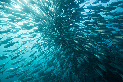 Underwater view of swimming jack fish shoal in blue sea, Baja California, Mexico - p924m1519375 by Rodrigo Friscione