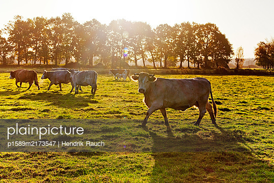 Free-range cattle on pasture - p1589m2173547 by Hendrik Rauch