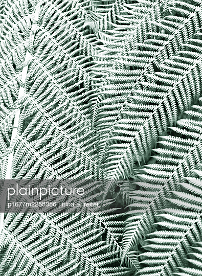 Fern leaves, close-up - p1677m2258986 by nina e. reiter