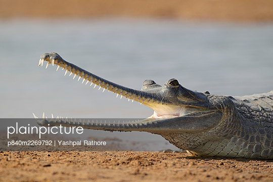 Gharial (Gavialis gangeticus) on the shores of Chambal river, National Chambal Sanctuary, Uttar Pradesh, India. Critically endangered. - p840m2269792 by Yashpal Rathore