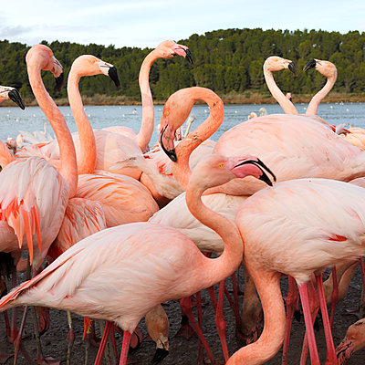 Flamingos - p1105m2145179 by Virginie Plauchut