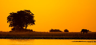 Elephant at sunset; Botswana - p442m2039422 by Robert Postma