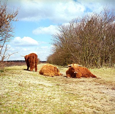 Scottish highlanders in dunes - p1231m1051573 by Iris Loonen