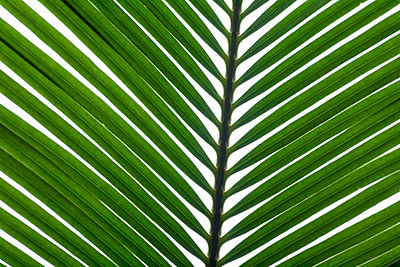 Palm Leaves - p3018398f by Jane