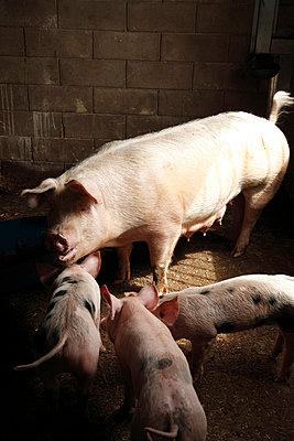 Im Schweinestall - p249m852232 von Ute Mans
