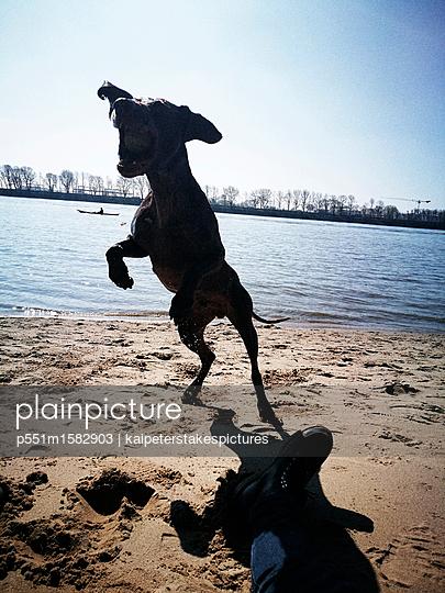 Spielender Hund - p551m1582903 von Kai Peters