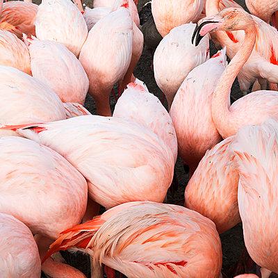 Flamingos - p1105m2145178 by Virginie Plauchut