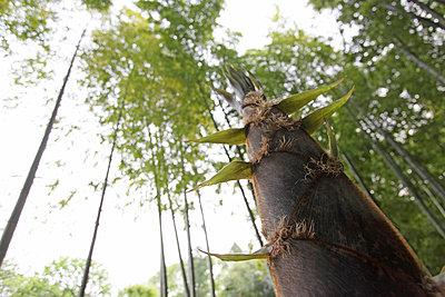 Bamboo Shoot - p307m962378f by Tetsuya Tanooka