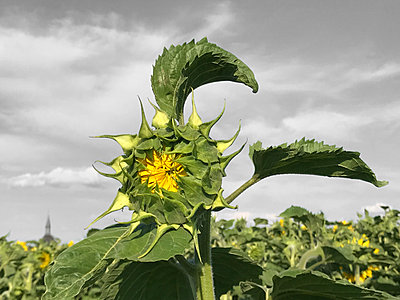 Sunflower - p1048m2016422 by Mark Wagner