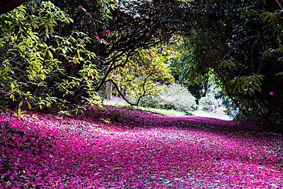 Landscape view with lush trees and bright pink blossoms covering a path. - p1100m2010760 by Mint Images