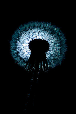 Dandelion seeds at night - p1540m2185328 by Marie Tercafs