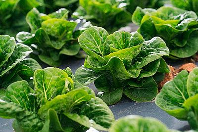 Close-up of lettuce field - p300m2155625 by Manu Padilla Photo