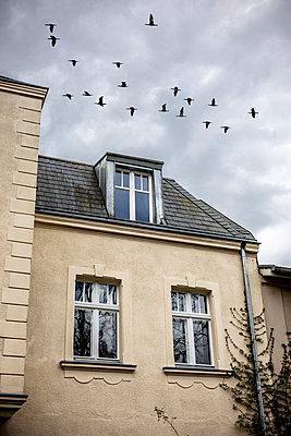 Flock of birds over a house - p975m2278181 by Hayden Verry