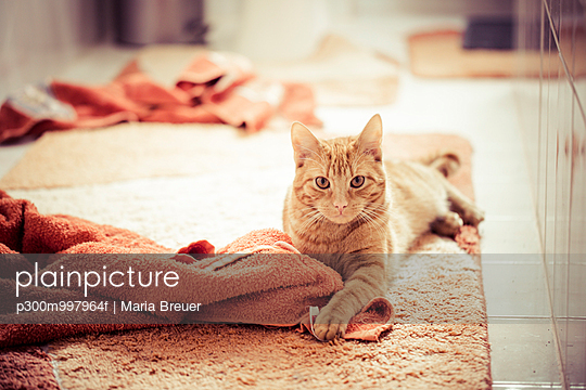 Red tabby cat playing with towels