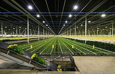 Greenhouse specialised in growing Chrysanthemums, Ridderkerk, zuid-holland, Netherlands - p429m1022520 by Mischa Keijser