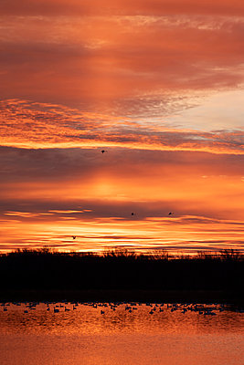 Tundra Swans backlight by the orange sunrise - p1480m2148216 by Brian W. Downs